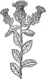 Фото цветов шафраны – Шафраны и бархатцы — это разные цветы? Как выглядят растения на фото, а также чем отличаются, и какие черты от них объединила в себе имеретинская разновидность?