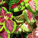 Фото цветы колеус – выращивание из семян в домашних условиях, как посадить, собачий, Аватар, другие виды и сорта, видео