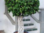 Фото фикус бенджамина старлайт – Цветок фикус Бенджамина: как выращивать и ухаживать за ним в домашних условиях, разновидности и названия фикусов, как заплести ствол и сформировать крону фото и видео