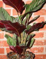 Фото галатея цветок – фото, название, описание, лубберса, полосатая, сандериана, зебрина, розеопикта, орбифолия, дотти, литл принцесс, родина, значение цветка