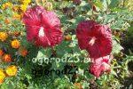 Фото гибискус с пестрыми листьями – фото цветка, ботаническое описание, особенности ухода и размножения в домашних условиях, болезни и вредители, а также подобные растения