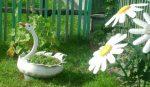 Фото каланхоэ сорта – виды цветка, названия и фото сортов, в том числе Мангина, Розалина, живородящее, трубкоцветное, махровое и Ти Сенто, а также особенности ухода