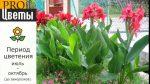 Фото канна – Канна(Canna). Описание, выращивание, посадка и уход. Программа PRO Цветы (ПРО Цветы) | flokus.ru
