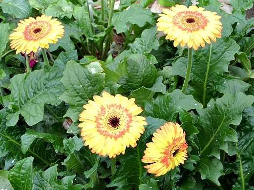 герберы цветы как выращивать в открытом грунте