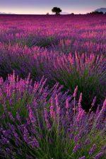 Фото лаванды в хорошем качестве – фото и описание видов, посадка, уход и выращивание лаванды, обрезка растения
