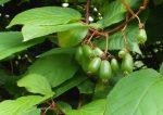 Фото растения актинидия – Актинидия Коломикта- агротехника, размножение, фото. Актинидия Коломикта Аргута посадка и уход, фото.