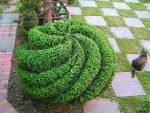 Фото самшита – размножение вечнозеленого кустарника, обрезка, посадка, уход в домашних условиях и фото