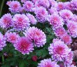 Фото хризантемы на даче – Крупноцветковые хризантемы – уход за цветами, выращивание и размножение, фото