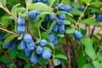 Фото жимолость ягоды – Жимолость — описание, выращивание, фото. Жимолость съедобная (Lonicera caerulea) и ее урожаи и сорта.