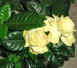 Гардения пересадка – уход. Гардения жасминовидная, как ухаживать? Цветок гардения жасминовая, комнатная. Размножение гардении, пересадка (желтеют листья), обрезка .