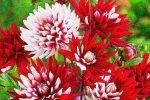 Георгин цветы – однолетние, многолетние, шаровидные, помпонные, игольчатые, другие виды, лучшие сорта, посадка, уход в открытом грунте, выращивание из клубней, семян, в ландшафтном дизайне