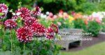 Георгинов или георгин – Георгины в саду — описание, классификация, использование. Фото — Ботаничка.ru