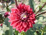 Георгины фото сорта – однолетние, многолетние, шаровидные, помпонные, игольчатые, другие виды, лучшие сорта, посадка, уход в открытом грунте, выращивание из клубней, семян, в ландшафтном дизайне