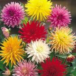 Георгины кактусовидные фото