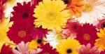 Гербера растение – Герберы. Уход за цветами герберами,комнатное растение гербера, размножение, полив, уход. Цветок ргербера выращивание.