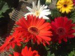 Гербера желтая фото – Цветы герберы — как выращивать в горшках и открытом грунте? Инструкция с фото и рекомендациями