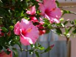 Гибискус фото дерево фото – фото и обзор декоративных видов, уход в саду и домашних условиях, размножение, болезни и вредители, а также сорта, подходящие для бонсай