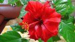 Гибискус сорта – фото, почему называется цветком смерти, виды, сорта, посадка и уход в домашних условиях, открытом грунте, размножение