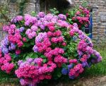 Гидрангея цветок – посадка и уход в открытом грунте, фото, сорта, размножение, выращивание и сочетание в ландшафтном дизайне