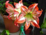 Гиппеаструм фото уход в домашних условиях после цветения – описание, правила ухода в домашних условиях, в саду, в период покоя, после цветения, технология размножения, как заставить цвести, советы