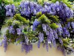 Глициния цветок – уход и выращивание в домашних условиях в средней полосе, посадка, виды, размножение (100 фото) – Кошкин Дом