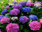 Гортензия цвет – Как изменить цвет гортензии садовой с белого на голубой, на розовый видео