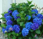 Гортензия голубая сорта – Голубая гортензия — популярные сорта и нюансы культивирования сорта Никко Блю (Nikko Blue)