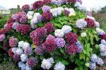 Гортензия кустарник – посадка и уход в открытом грунте, фото, сорта, размножение, выращивание и сочетание в ландшафтном дизайне