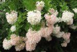 Гортензия метельчатая сорта с фото – Гортензия метельчатая — сорта, фото в ландшафтном дизайне, цена семян и где купить в Москве и СПб