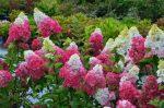 Гортензия метельчатая в дизайне сада фото – Гортензия метельчатая — сорта, фото в ландшафтном дизайне, цена семян и где купить в Москве и СПб