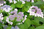 Гортензия розово зеленая – Гортензия цветок: выращивание, размножение | Лекарственные растения