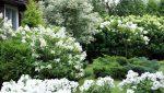 Гортензия уход размножение фото – посадка и уход в открытом грунте, фото, сорта, размножение, выращивание и сочетание в ландшафтном дизайне