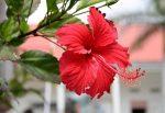 Как выглядит гибискус цветок – как выглядит комнатное растение на фото, почему его другое название Цветок смерти, что это за съедобный кустарник такой и где родина дерева?