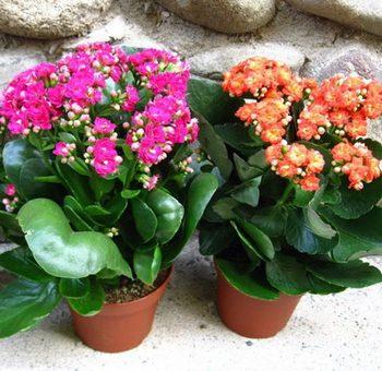 Каланхоэ как нарисовать – уход, размножение в домашних условиях и лечебные свойства растения