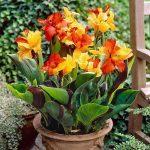 Канна цветок фото в домашних условиях – Канна: посадка изумительно красивого цветка и уход в домашних условиях. Выращиваем канны дома: выбор горшка, полив, уход