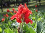 Канна фото – Посадка и уход за каннами в открытом грунте и выращивание в саду, фото цветов и сортов канн