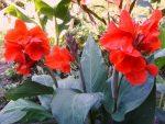 Канна животное фото – Канна, уход, выращивание, обрезка, посадка. Канна всё о растении. Канна фото.