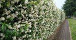 Каприфоль растение фото – Посадка вьющейся жимолости Каприфоль, основные правила ухода за растением