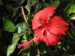 Картинка гибискус – Смайлик картинки Гибискус (китайская роза) анимация гифка фото рисунок Розы