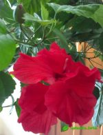 Китайская роза или гибискус фото – что это за цветок, каково его научное название, какие у него есть сорта и виды, а также фото того, как выглядит комнатное растение