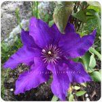 Клематис президент фото – Клематис Президент (Clematis President) — «Огромные сине-фиолетовые с пурпурной полосой цветы, до 18 см в диаметре. »