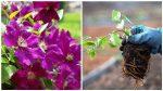Клематис семена фото – требования к семенам, достоинства и недостатки выращивания из семян, правила посадки и ухода, выращивание из отводка, выращивание из черенка