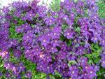Клематисы уход выращивание – посадка и уход в открытом грунте, выращивание и размножение сорта, фото, сочетание в ландшафтном дизайне