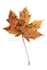Кленовых листьев фото – Картинки кленовый лист красный осень, Стоковые Фотографии и Роялти-Фри Изображения кленовый лист красный осень