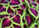 Колеус что такое – Цветки — Колеус (Coleus) — род многолетних вечнозеленых растений семейства губоцветных, объединяющий около 150 видов полукустарников и трав.