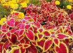 Колеус описание растения – условия выращивание из семян, особенности ухода и размножение колеуса черенками