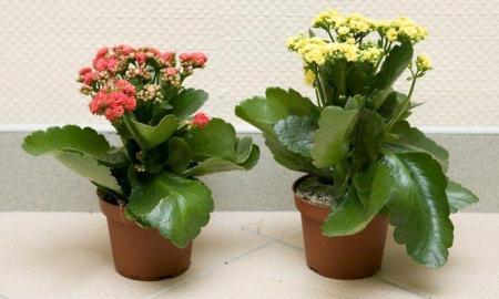 Колонхолия цветок уход фото – Как ухаживать за каланхоэ в домашних условиях: фото растения, пересадка, цветение