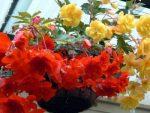 Комнатное растение бегония – уход в домашних условиях, фото цветов, способы размножения цветка, зимовка в комнатных умловиях