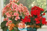 Комнатные бегонии сорта – названия и фото, описание сортов комнатного растения, а также какие классификации бывают и что за уход нужен цветку в домашних условиях?