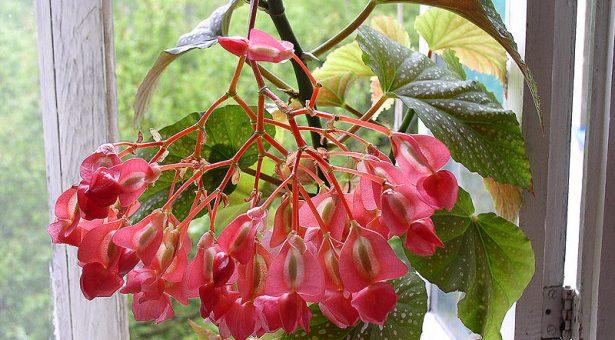 Комнатные цветы бегония фото название и уход за ними – фото и как за ним ухаживать, размножение, почему не цветет, виды (в том числе вечноцветущая) и их особенности